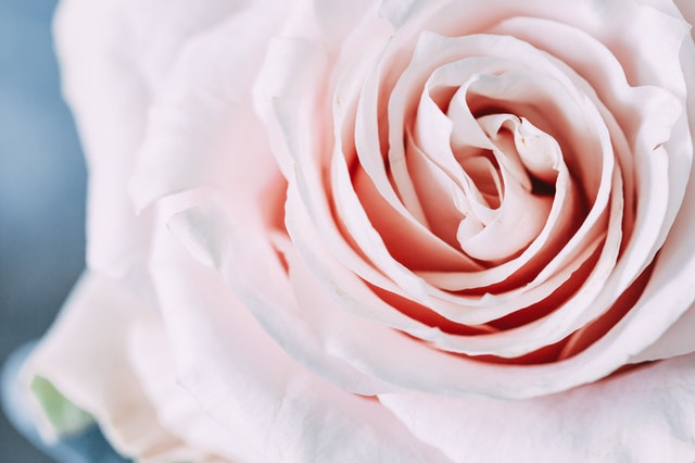 Pink rose whatsapp profile picture