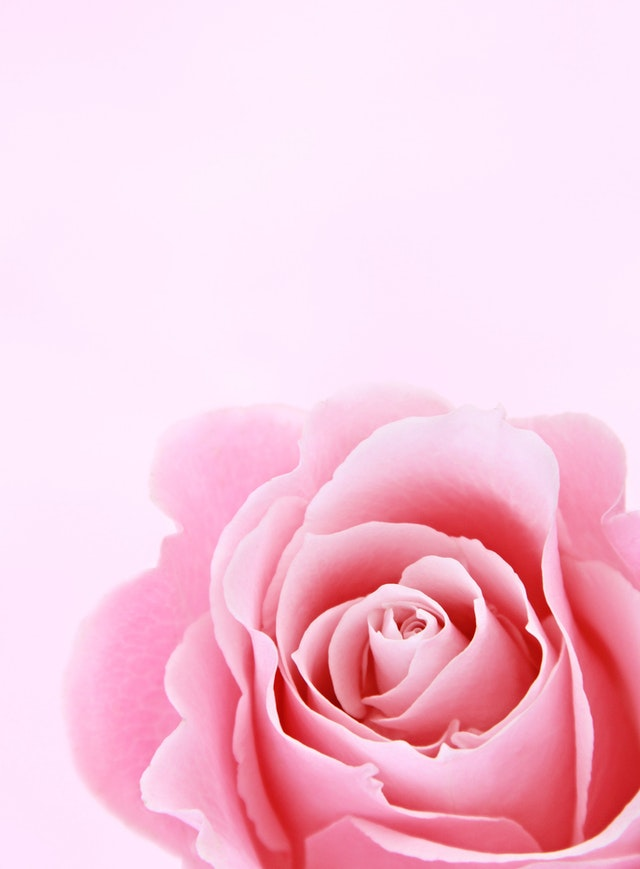 Pink rose picture download for whatsapp profile picture