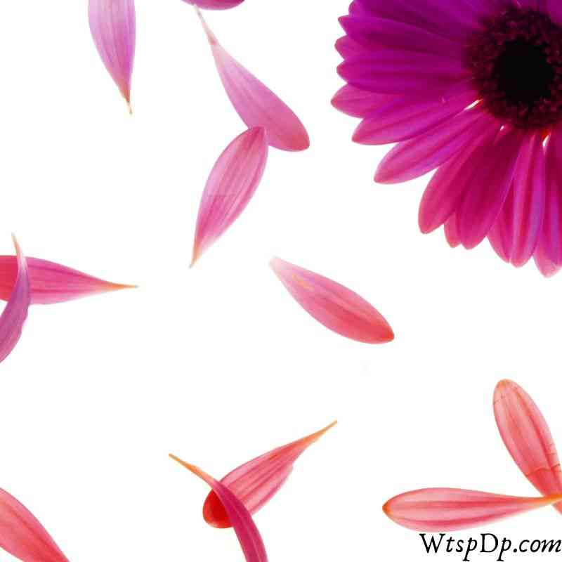 Flower image for wtsp profile pic