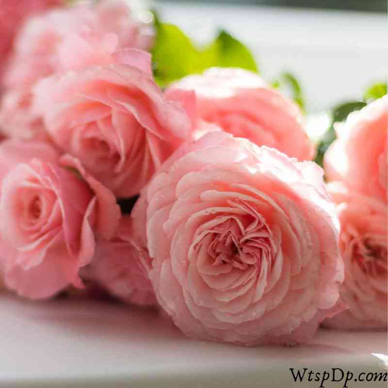 Pink rose image for whatsapp dp image