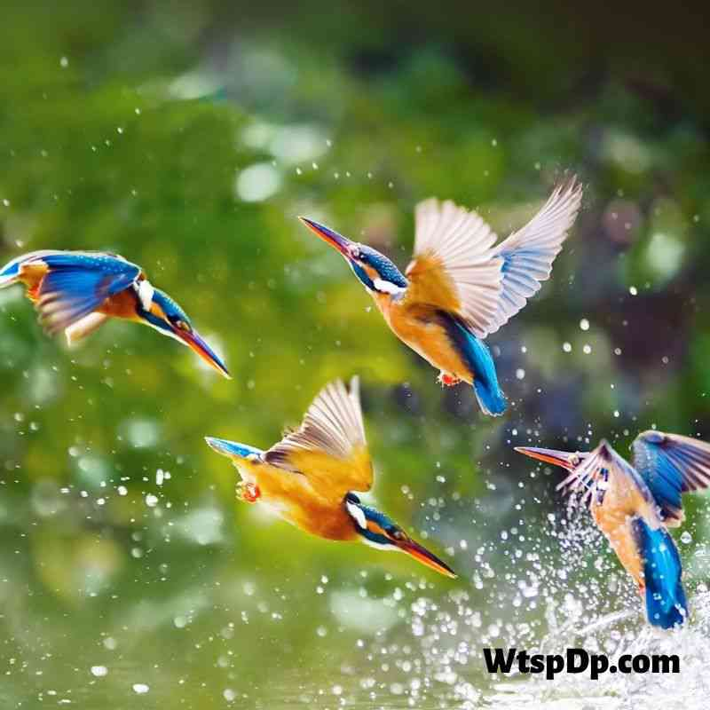 Kingfisher fishing image for wtsp dp pic