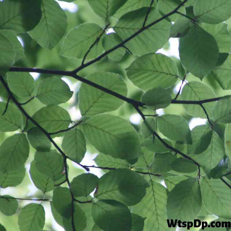 Green tree leaf image for wtsp dp pic
